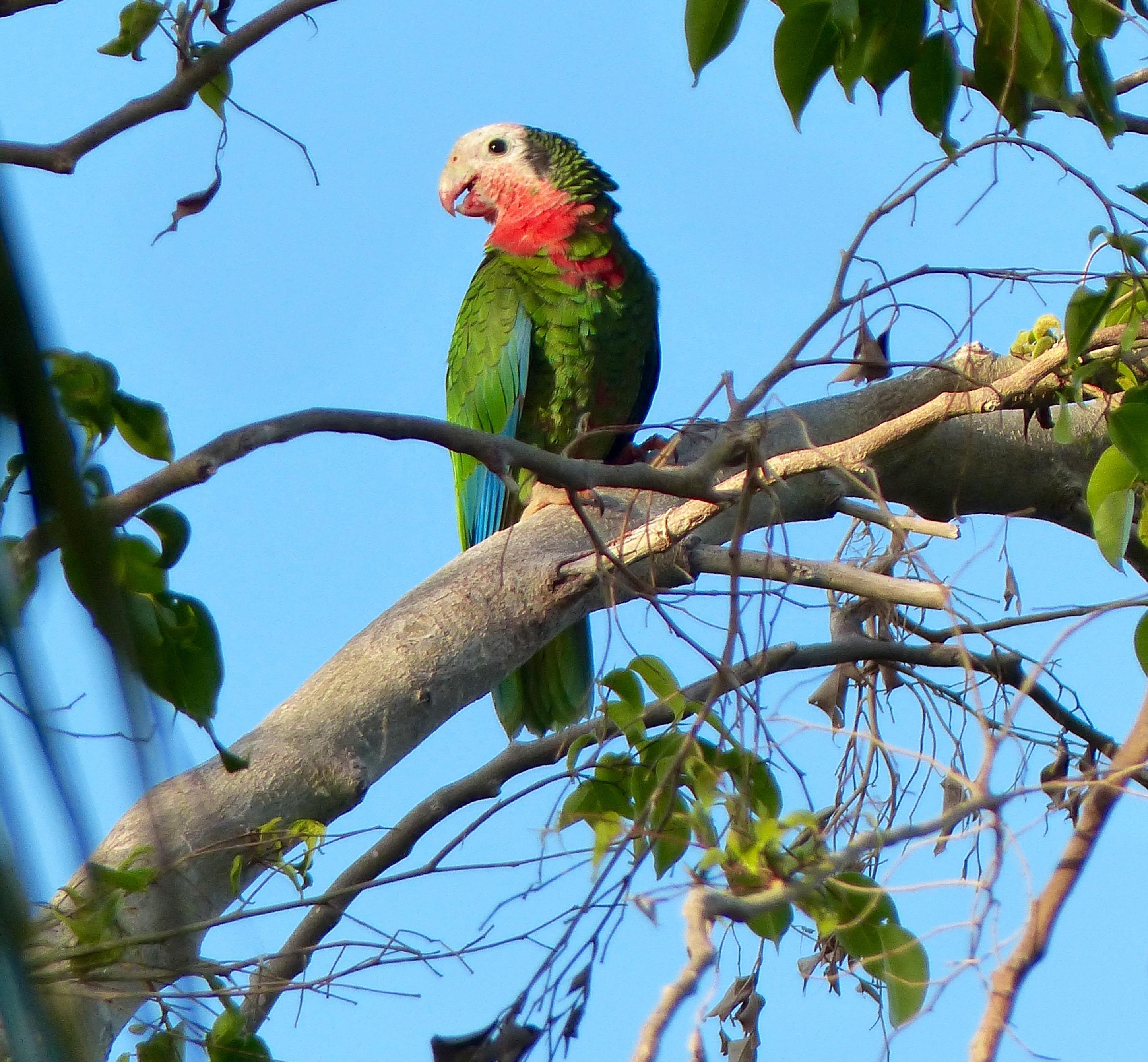 Bahama Parrots on Nassau