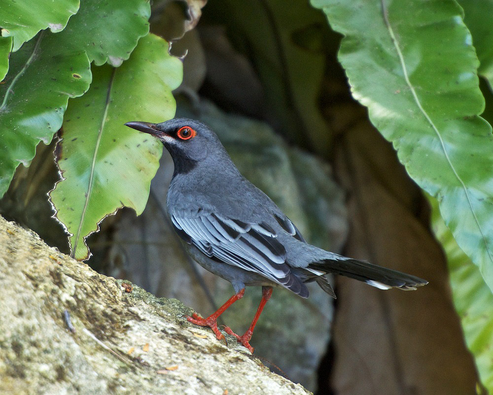 red legged thrush bahamas national trust retreat
