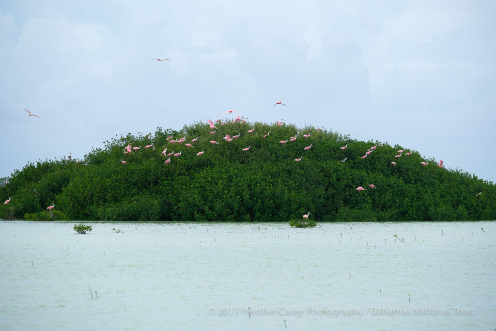 roseate spoonbill west side national park andros bahamas