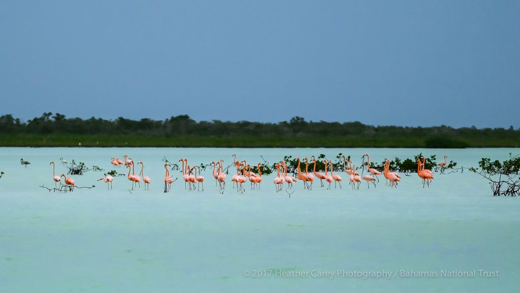 flamingos west side national park andros bahamas