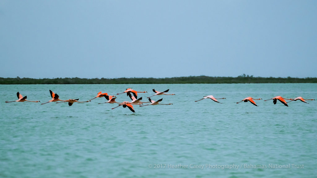 flamingos in flight west side national park andros