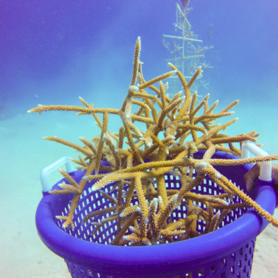 staghorn coral in coral reef restoration and preservation