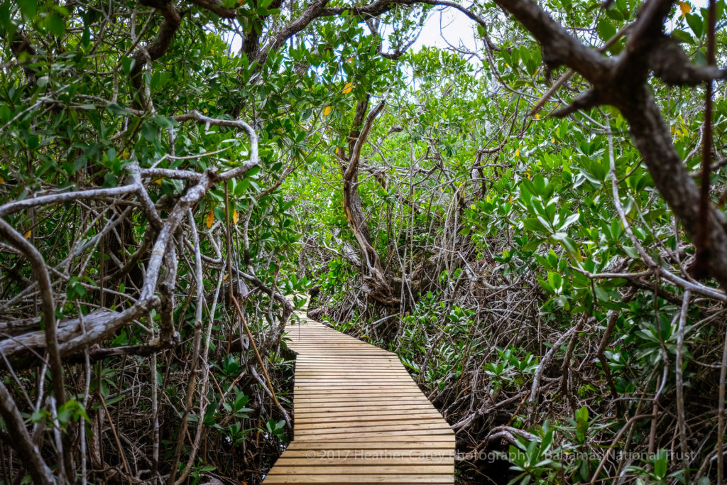 mangrove boardwalk lucayan national park
