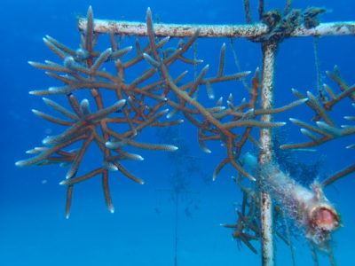 Staghorn Coral nursery to be outplanted
