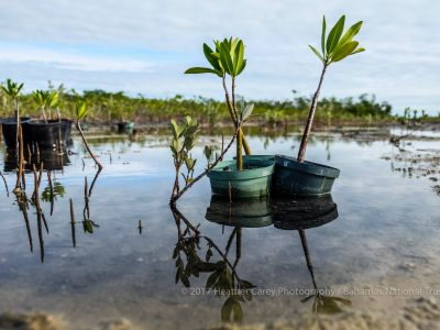 rotary bahamas and bahamas national trust mangrove planting bonefish pond national park barry rassin