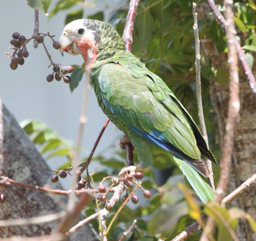 Abaco parrot Bahamas national trust