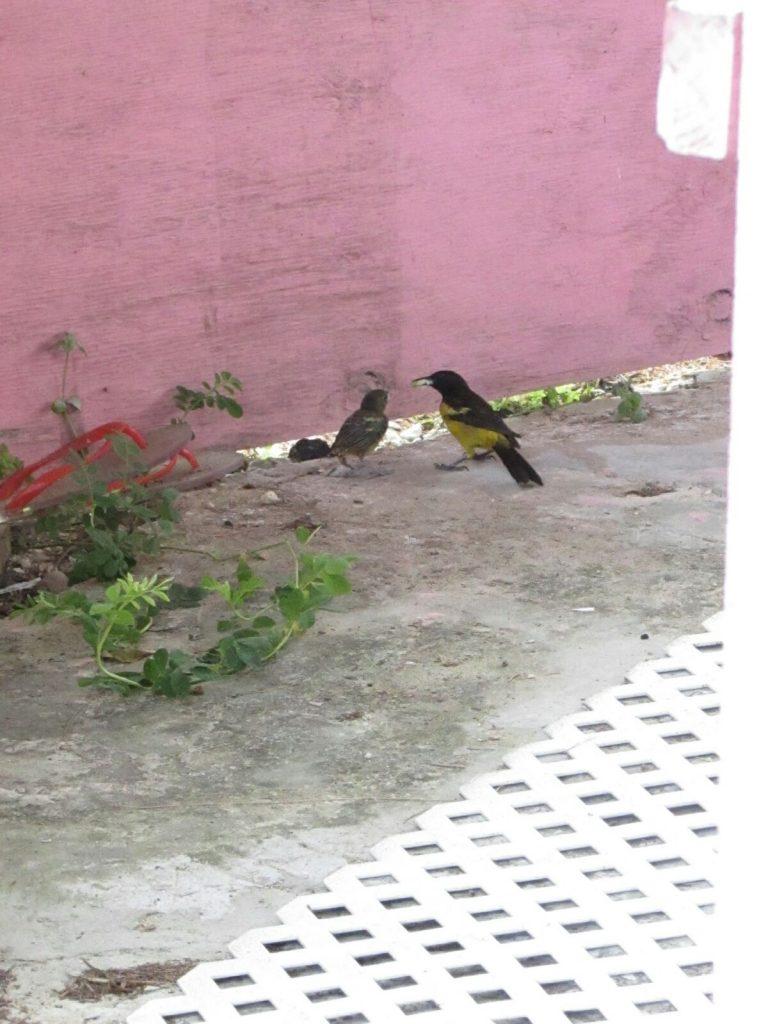 Bahama oriole fledgling bahamas conservation