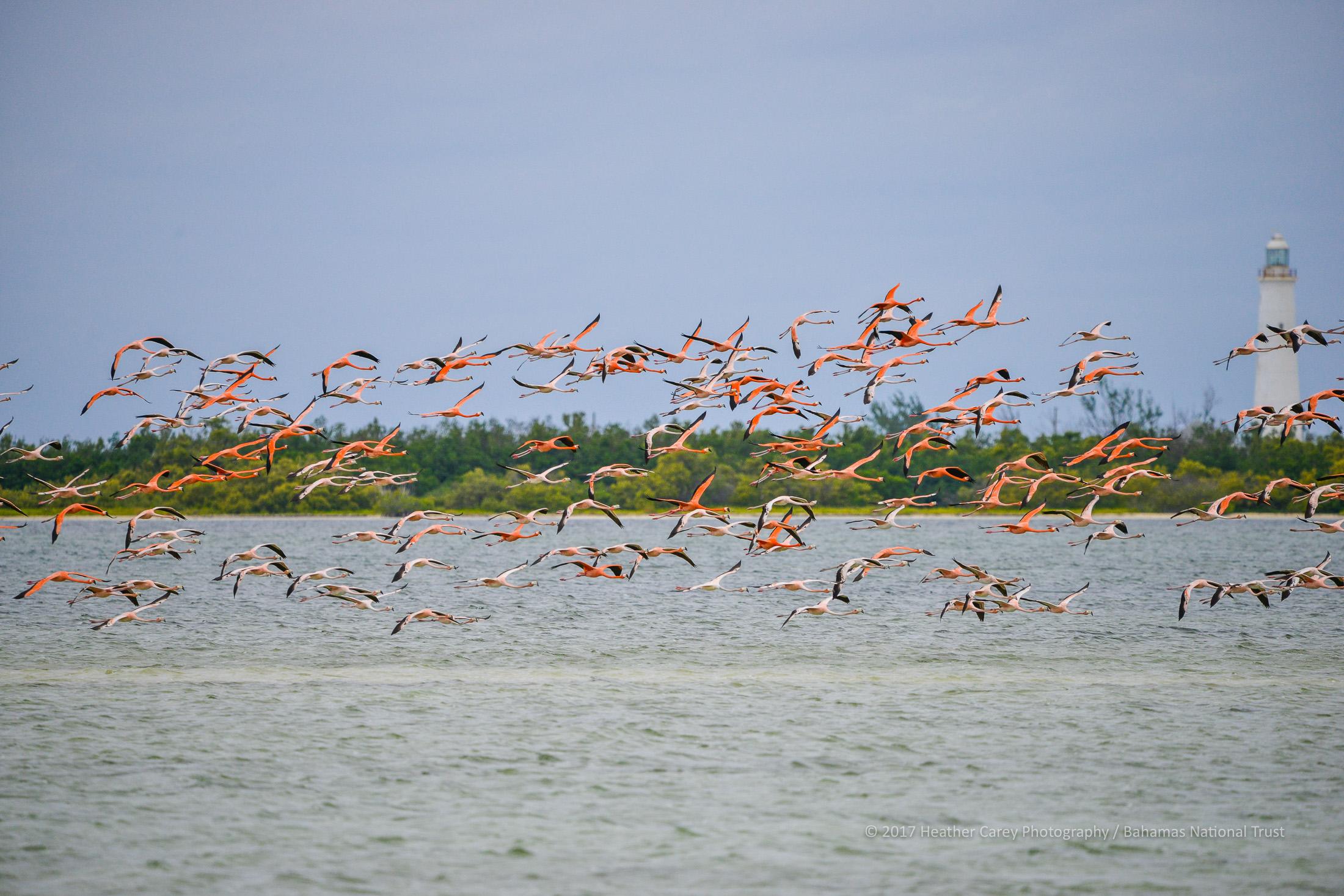 west indian flamingo inagua