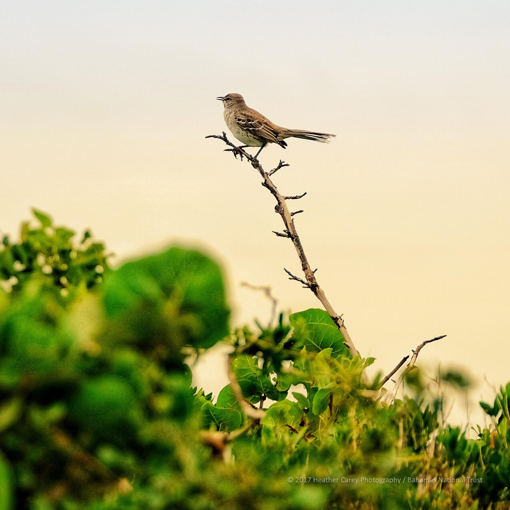 bahama mockingbird inagua national park
