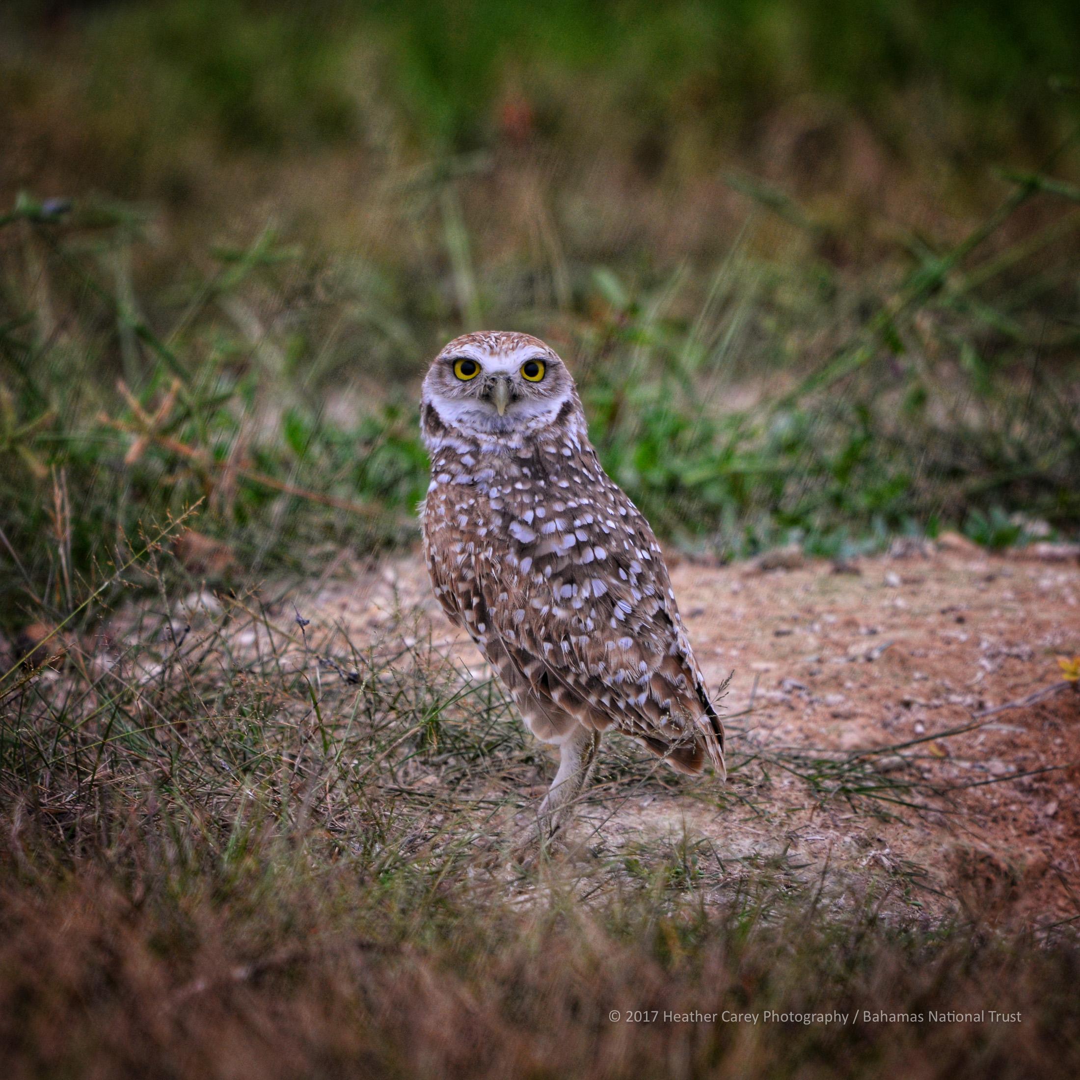 burrowing owl inagua