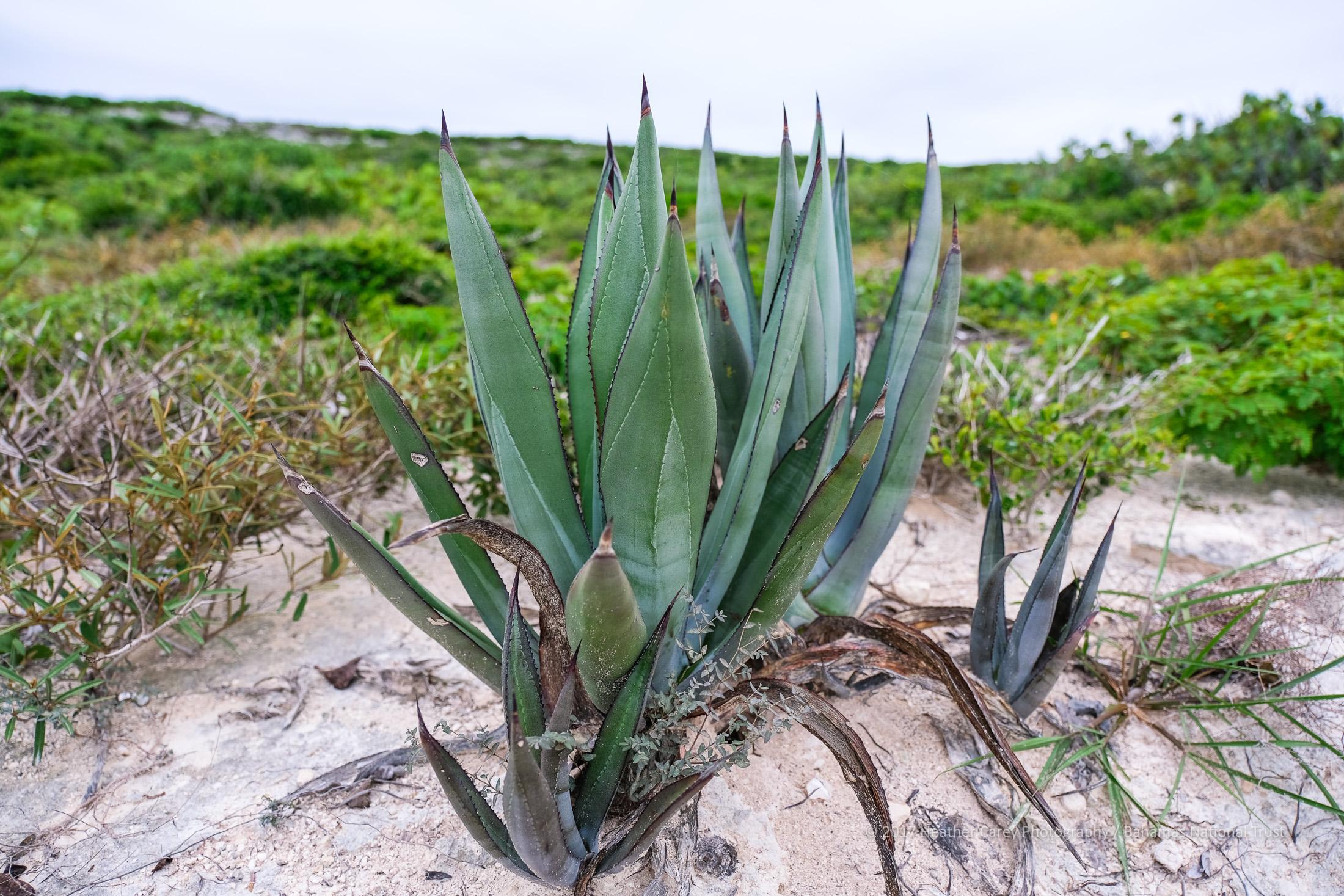 bahamas agave endemic