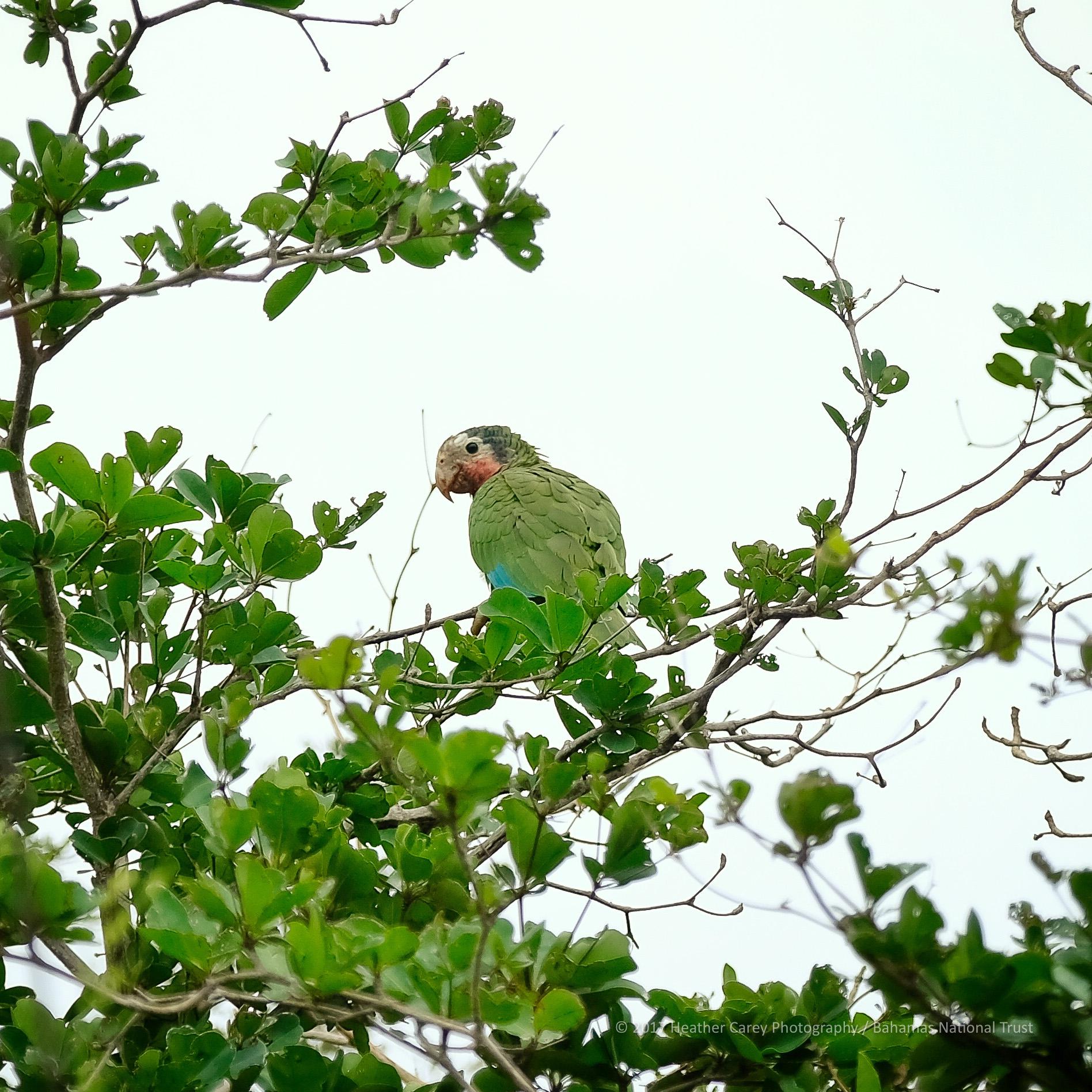 Bahama Parrot Inagua Bahamas