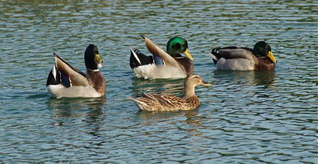 Christmas Bird Count Mallard Ducks