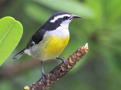 Bananaquit Bird Bahamas